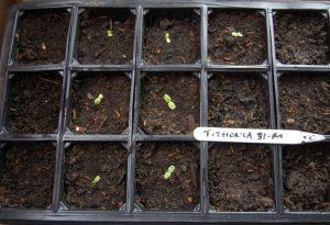 Germinating Tithonia.