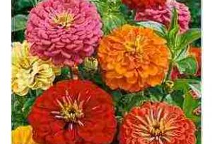 Growing Zinnias For Dummies.
