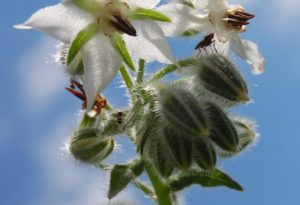 White Borage