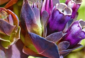 Cerinthe major 'Purpurascens'. Honeywort