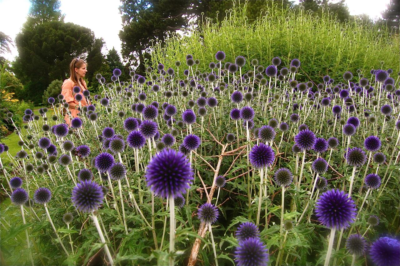 Cambridge Botanical Gardens >> Echinops – Higgledy Garden