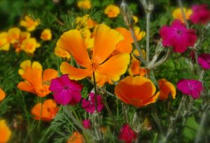 Eschscholzia californian poppy