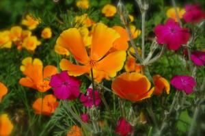 Eschscholzia californian poppy