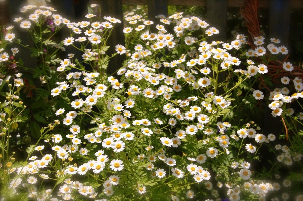 feverfew plant - photo #12