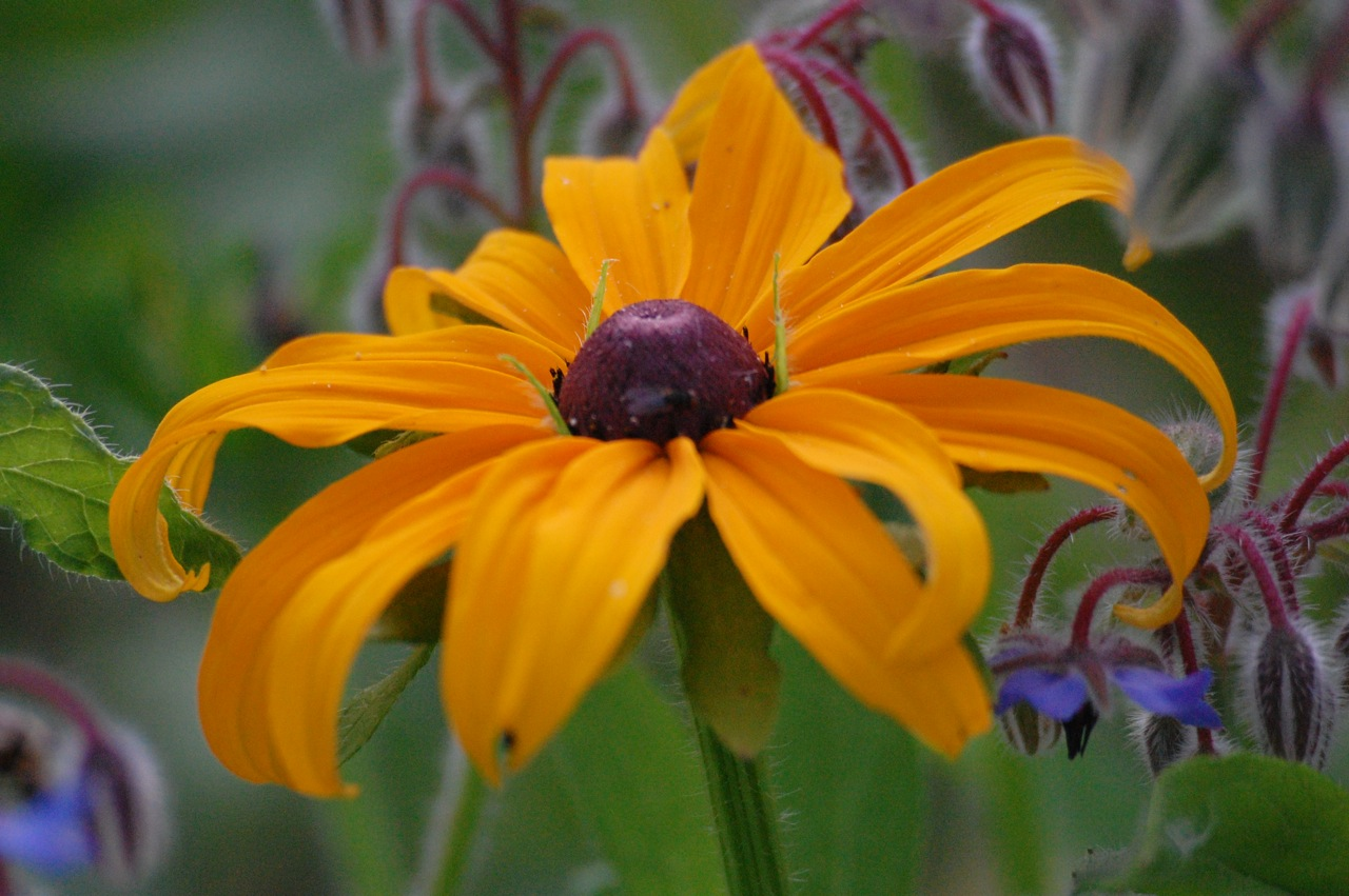Half hardy annual flowers higgledy garden rudbeckia marmalade izmirmasajfo