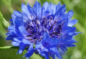 Autumn sown cornflowers