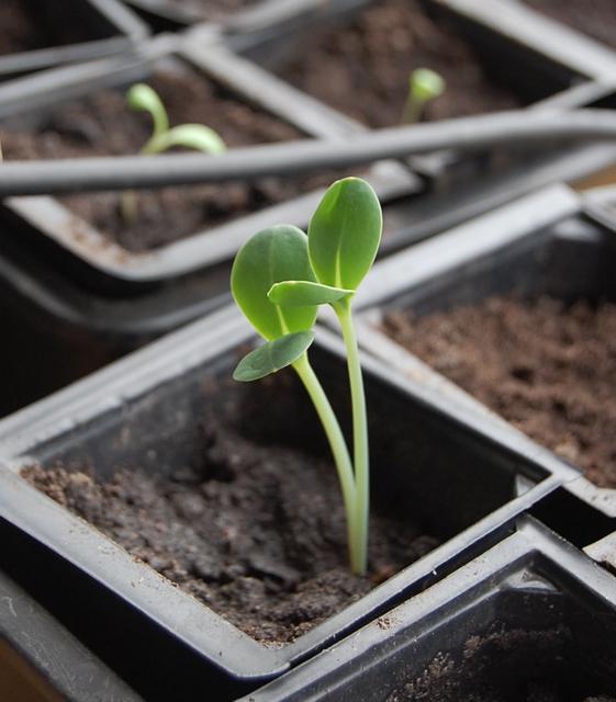 Cerinthe seedling