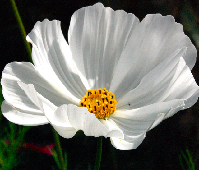 Cosmos 'Purity' seeds