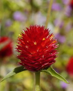 Gomphrena. 'Strawberry Fields'