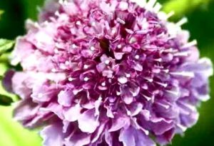 How to grow scabiosa