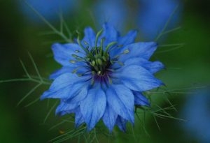 Nigella Autumn Sowing
