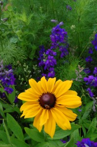 Rudbeckia and Larkspur