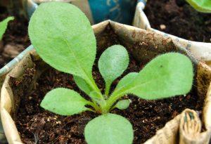 Rudbeckia seedling