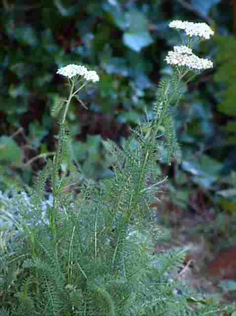 achillea seedling
