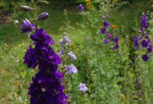 autumn sowing of larkspur