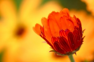 autumn sowing of calendula