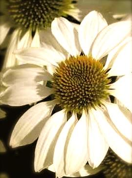 Echinacea. 'Primadonna White'
