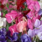 Sweet Pea. 'Perfume Delight'.