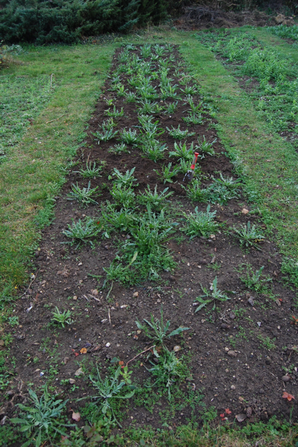 autumn sown cornflower seedlings