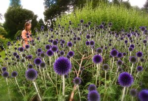 how to grow echinops from seed