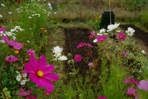 sowing hardy annuals