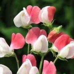 Sweet Pea. 'Painted Lady'.