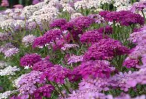 Candytuft Iberis