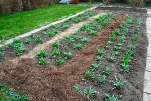 Cornflower Beds