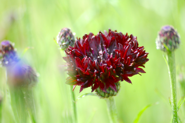 Cornflowers 'Black Ball'
