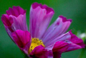 Cosmos Bipinnatus Pied Piper