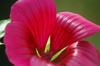 Easy to grow flowers. Malope.