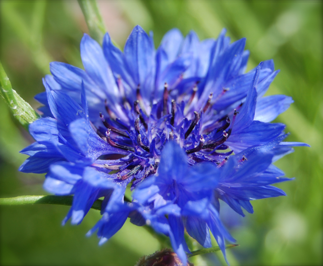 How to grow cornflowers