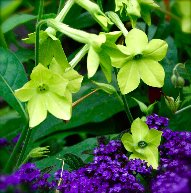 Nicotiana 'Lime Green'.