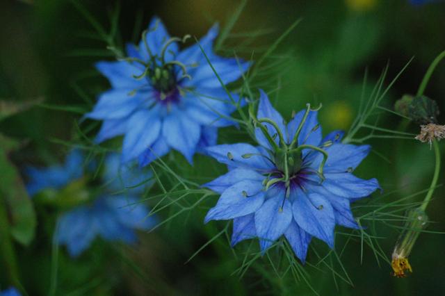 Nigella Miss Jekyll Blue
