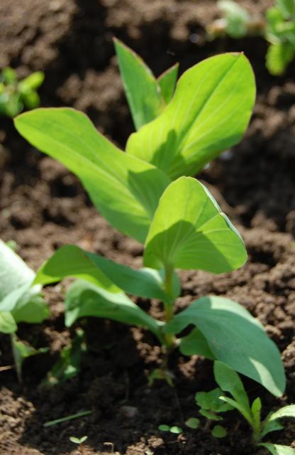 How To Grow Bupleurum Higgledy Garden