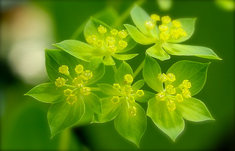 how to grow bupleurum