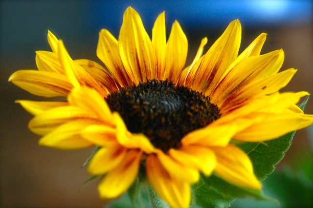 Edible Sunflower