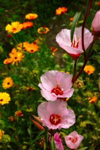 Grow Godetia from seed