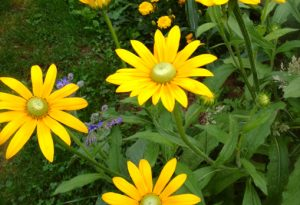 Rudbeckia, 'Irish Eyes'.