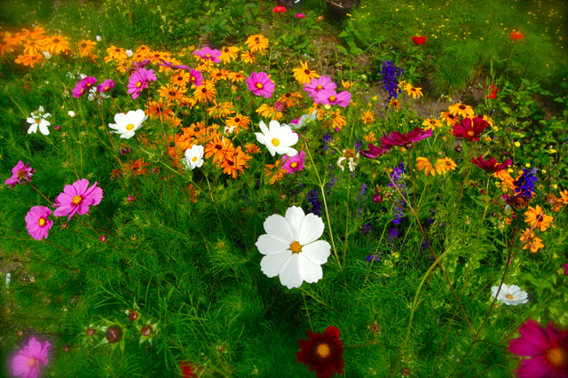 Mixed bed of annuals...the pink Cosmos are 'Sensation'