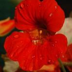 Climbing Nasturtium. 'Scarlet Munchkin'.