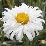 Chrysanthemum. 'Crazy Daisy'.