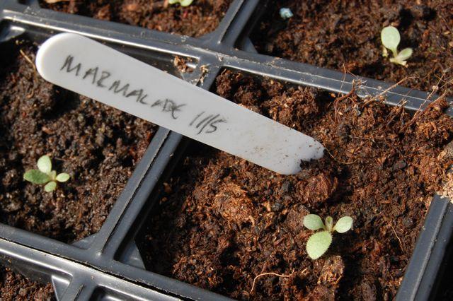 Rudbeckia marmalade seedling