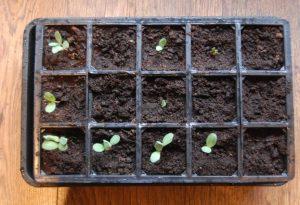 Cerinthe Majus Seeds.