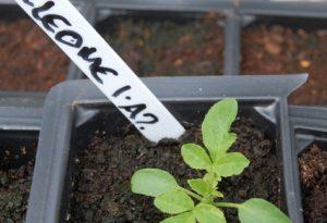 Cleome Seedling
