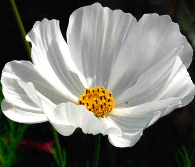 Cosmos 'Purity' Flower.