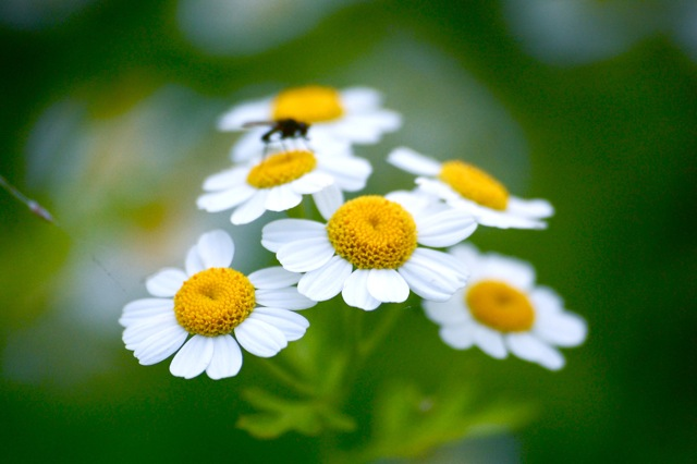Feverfew and Mr Fly.