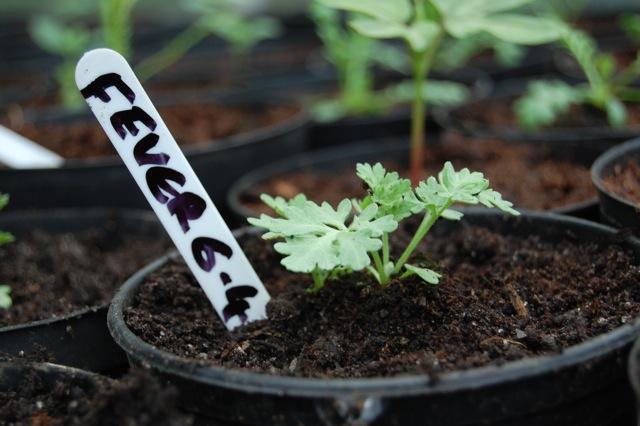Feverfew Seedling