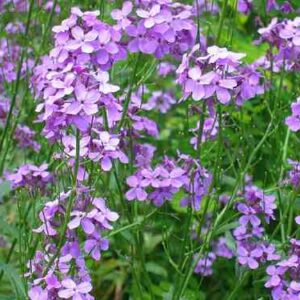 Hesperis flower