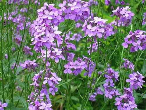 Hesperis flower